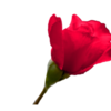red rose bud 2: Red rose bud