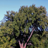 Bay Tree: Bay tree, at Rancho San Antonio