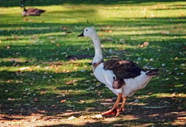 brown and white goose