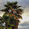 fall colored palm tree, on overcast day
