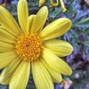 like sunshine yellow flower