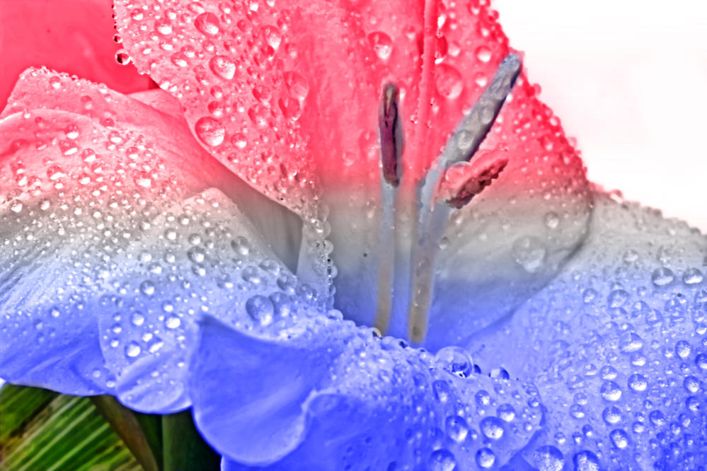 red white and blue gladioli