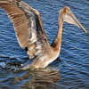 A beautiful brown pelican