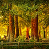 Redwood's in the park