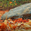 A rock in the fall leaves