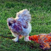 unusual rooster and hen