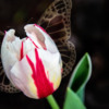 A white and red tulip