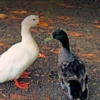 Two duck friend's