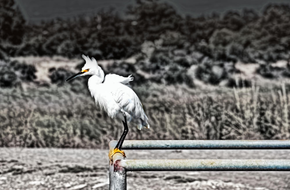 this egret on a pipe