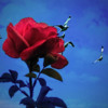 Beautiful rose and the bird's