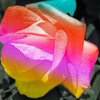 Multi colored rose